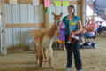 ANNE EICKSTADT PHOTO Belvidere Daily Republican During the second year of alpacas showing in Boone County (and the State of Illinois), Emily Johnson handling Jelly the alpaca won the Grand Prize.